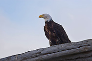 Adult Bald Eagle standing on drfitwood close up