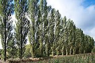 Populus nigra 'Italica' (Lombardy poplar). Ross-on-Wye, England, UK