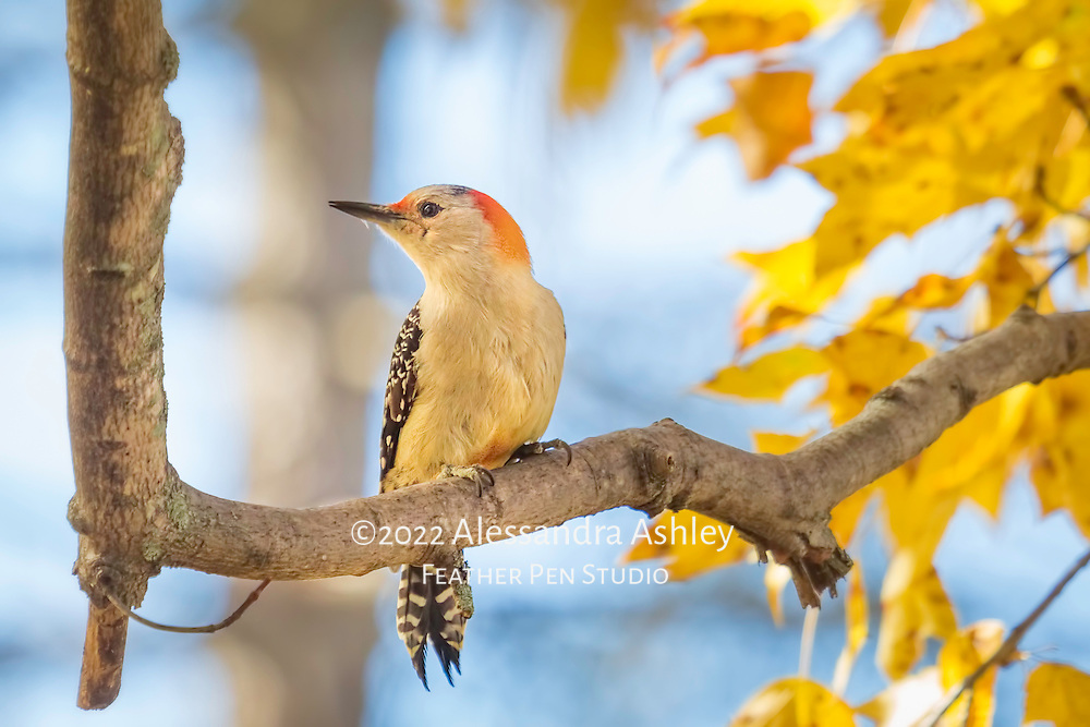 Red bellied woodpecker pauses on maple tree branch amid golden autumn leaves.