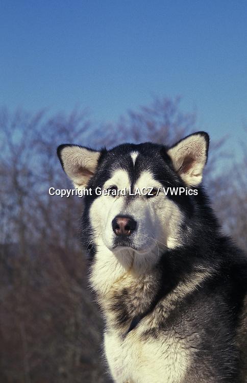 Alaskan Malamute Dog, Portrait of Adult