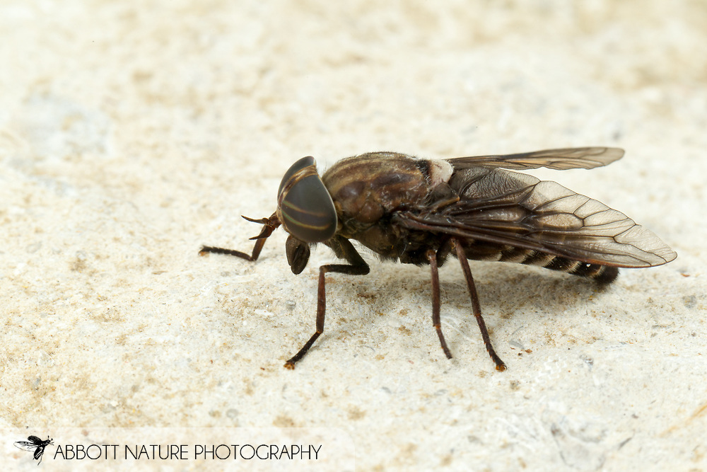 Horse Fly (Tabanus mixus)<br /> United States: Alabama: Tuscaloosa Co.<br /> Tulip Tree Springs off Echola Rd.; Elrod<br /> 7-Jun-2016<br /> J.C. Abbott #2827 &amp; K.K. Abbott