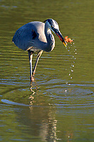 I took this photo to document this Great Blue Heron catching a crawfish.  Backlight makes the birds catch really glow.