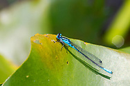 Azure Bluet (Enallagma aspersum) - male<br /> PENNSYLVANIA: Centre Co.<br /> Ten acre Pond on Scotia Range Rd.<br /> 26.June.2015<br /> J.C. Abbott #2755 &amp; K.K. Abbott