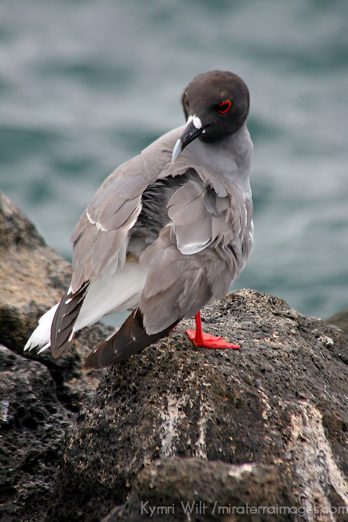South America, Ecuador, Galapagos Islands. Swallow-tailed Gull.