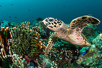 Hawksbill Turtle foraging on sponges and soft corals...Shot in Indonesia