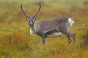 A reindeer (Rangifer tarandus) grazes in southeastern Iceland near the town of Höfn. Reindeer, also known caribou in North America, is a species of deer native to Arctic and Subarctic regions, although they were introduced to Iceland. The reindeer population in Iceland is estimated at between 2,500 and 3,000.