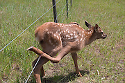 A three day old elk calf stuck in a wire range fence in the Sled Springs Elk Study Area. The calf will die unless disentangled from the wire. (It was later set free by a ODFW biologist).