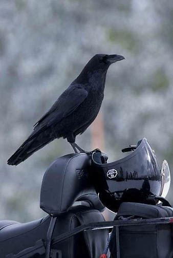 Common Raven, (Corvus corax) Searching for food on unoccupied snomobile. Yellowstone National Park.