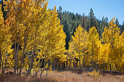 """Shack in the Aspen 3"" - This old shack and yellow aspen were photographed in the fall, near the Hwy 267 summit between Truckee and Lake Tahoe."