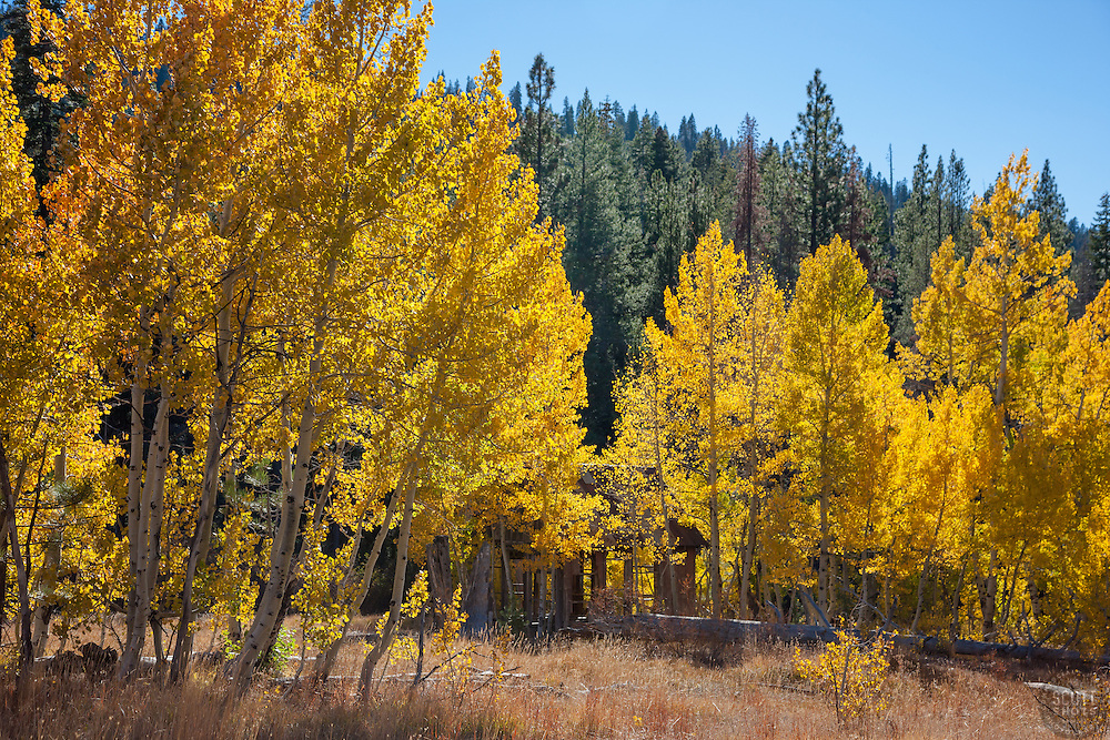 """""""Shack in the Aspen 3"""" - This old shack and yellow aspen were photographed in the fall, near the Hwy 267 summit between Truckee and Lake Tahoe."""
