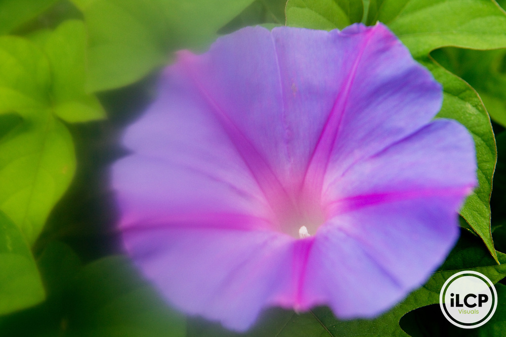Common Morning Glory (Ipomoea purpurea) flower, Berkeley, Bay Area, California