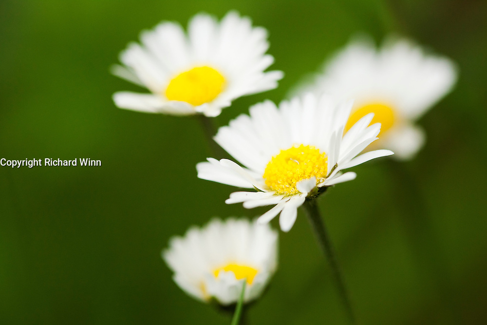 Cluster of daisies, shown with a narrow depth of field, showing emphasis on the stamens.