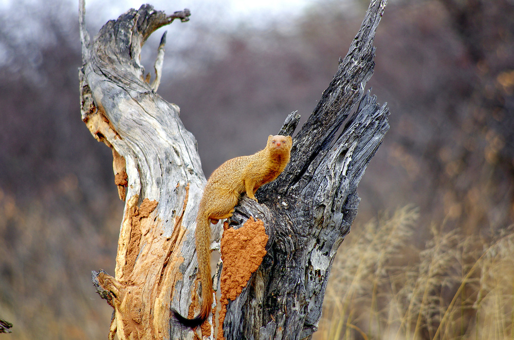 Mongoose in a tree