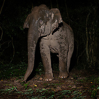 The Asian elephant, or Asiatic elephant (Elephas maximus), is the only living species of the genus Elephas and is distributed in Southeast Asia.