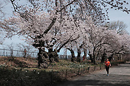 Cherry trees at the Reservoir in Central Park