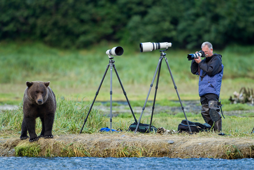 USA, Alaska, Katmai National Park,  Grizzly Bear (Ursus arctos) standing very close to photographer along salmon stream near Geographic Harbor
