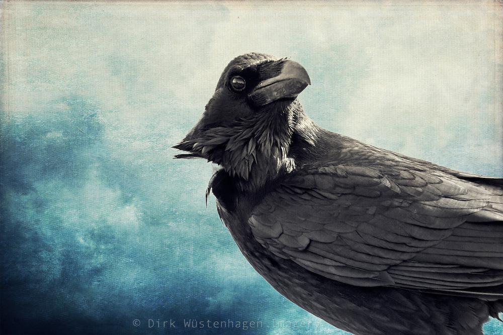 Raven looking sideways<br /> <br /> License: http://www.trevillion.com/search/preview/trevillion/0_00219348.html