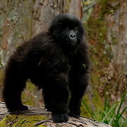 Mountain Gorilla (Gorilla beringei beringei) <br /> Virunga Volcanoes - Parc National des Volcans, Rwanda <br /> <br /> Tetero, a young juvenile from the Beetsme Group knuckle-walks along a large fallen tree in Parc National des Volcans, Rwanda. On the ground, gorillas walk on all fours, resting on the knuckles of the hands rather than on the bottoms or palms of the hands.