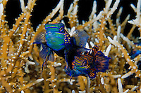 Mandarinfish Pair, just prior to Mating