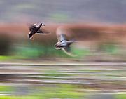 A pair of Blue-winged teal ducks take flight Art.