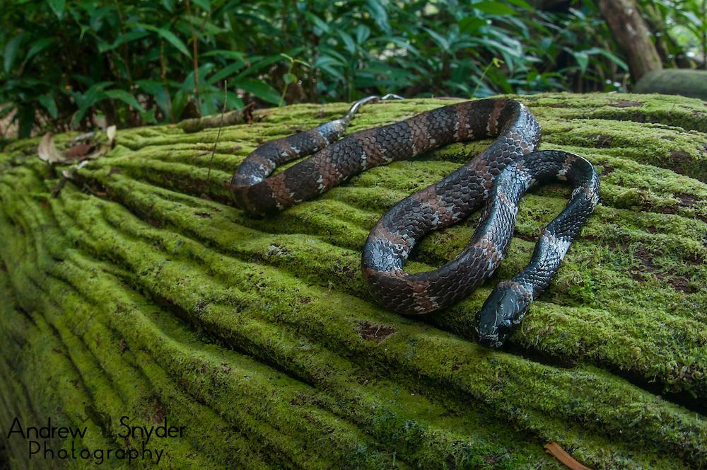 Snail eating snake (Dipsas catesbyi).