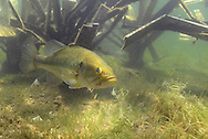 A Largemouth Bass Guards Nest Made Adjacent to a Fish Hiding Artificial Fish Attractor