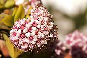 Flowering Succulent - Tasmania