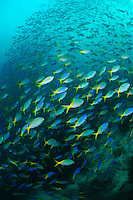 Mixed school of yellowtail and blue and yellow fusilier, Raja Ampat Islands, West Papua, Indonesia. The Raja Ampat Islands in West Papua are famous for their extraordinary marine biodiversity. The reefs around these islands are thought to be some of the most biodiverse on the planet.