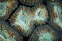 Lobophyllia coral, Maratua, Kalimantan, Indonesia.