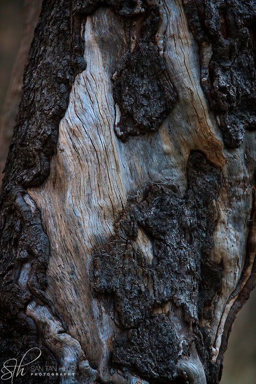 Tree resembling the abstract face of a bearded man - Oak Creek Canyon, AZ