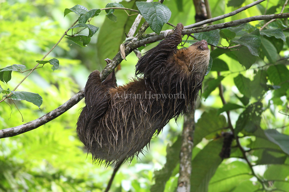 Hoffman&rsquo;s Two-toed Sloth (Choloepus hoffmanni) in rainforest, La Selva Biological Station, Costa Rica. <br />