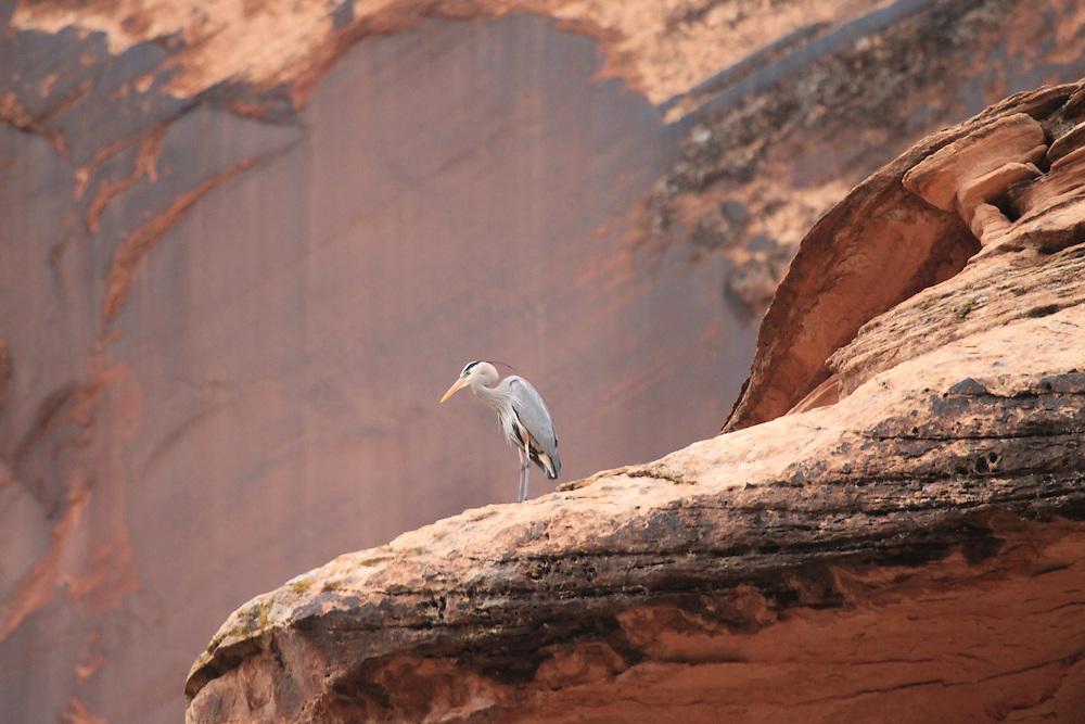 Great Blue Heron, Morning Glory Canyon Utah