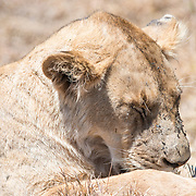 A female lion rests in the sun at Ngorongoro Crater in the Ngorongoro Conservation Area, part of Tanzania's northern circuit of national parks and nature preserves.