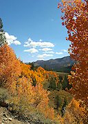Aspens in fall color below Sonora Pass in the Toiyabe National Forest, Sierra Nevada Mountains, California