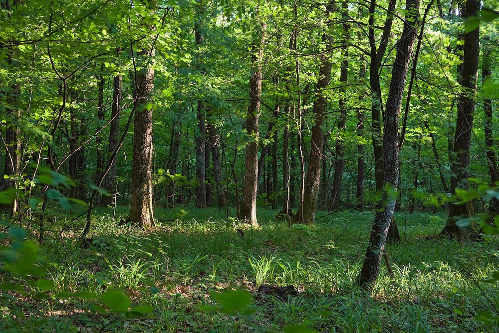 Deciduous Forest in the Vihorlat Mountains near Michalovce, Western Carpathians, Eastern Slovakia, Europe