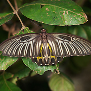 Female Golden Birdwing (Troides aeacus) is a very large butterfly belonging to the Swallowtail (Papilionidae) family.