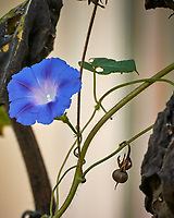 Purple Morning Glory. Image taken with a Nikon One V3 camera and 70-300 mm VR lens.