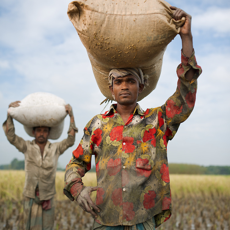 Rice threshing in the fields of the village of Jogahat, Chunamonhathi, Jessore, Bangladesh.  The men are using a foot powered thresher to beat the rice off the still-wet rice plants. Rice harvested in the field will be carried back to the village where it will be cleaned and dried.
