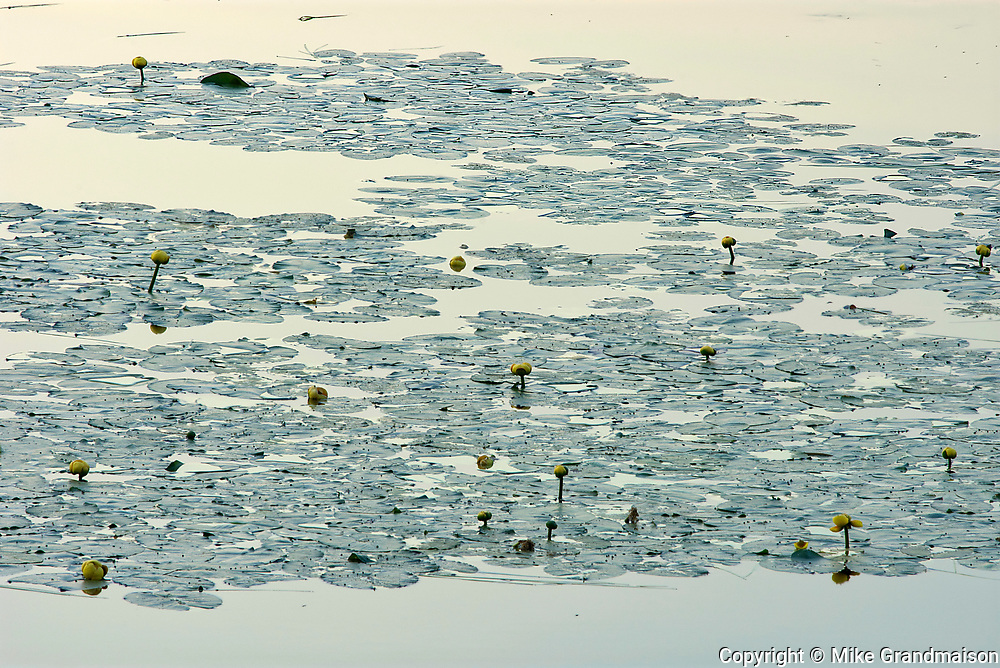 Yellow waterlilies in wetland near St-Mathieu-du-Parc<br />
