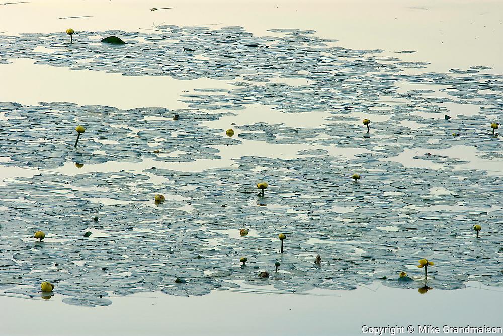 Yellow waterlilies in wetland near St-Mathieu-du-Parc<br />Route des lacs<br />Quebec<br />Canada