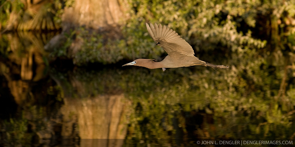 A little blue heron (Egretta caerulea) flys over the Gatorland alligator breeding marsh and bird sanctuary near Orlando, Florida. The bird sanctuary is the largest and most easily accessible wild wading bird rookery in east central Florida.