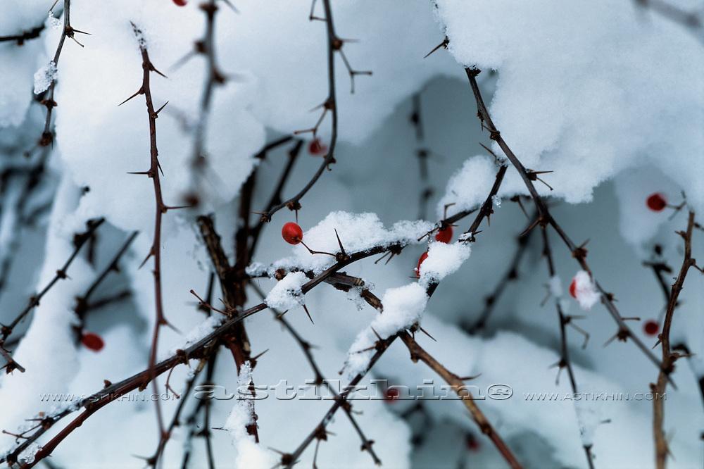 Berry under snow.