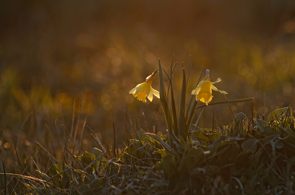 Wild Daffodils in early morning sunrise. Chezallier, Auvergne, France