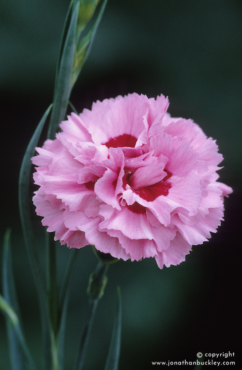 Dianthus 'Monica'- Carnation, Pink