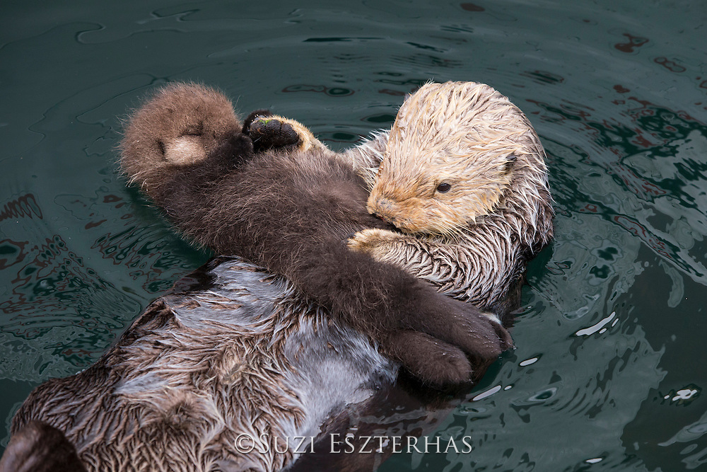 Sea Otter<br /> Enhydra lutris<br /> Mother and newborn pup (just three-days-old)<br /> Monterey, California