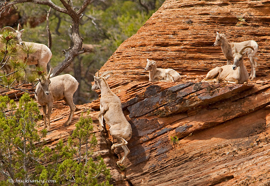 A band of desert bighorn sheep on cliffs during spring snow squall in Zion National Park in Utah