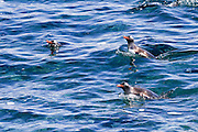 Gentoo penguins (Pygoscelis papua) swimming in the ocean. Gentoo penguins grow to lengths of 70 centimetres and live in large colonies on Antarctic islands. They feed on plankton, fish and cephalopods (such as squid), and have an elongated beak that allows them to take larger prey than any other penguin. Photographed on Cuverville Island, Antarctica