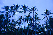 Palm forest against the evening sky