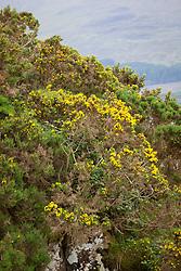 Common Gorse (furse, whin). Ulex europaeus