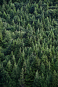 Stand of coniferous trees, Alaska